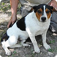 Australian Cattle Dog/Beagle Mix Dog for adoption in Sunbury, Ohio - Beanz
