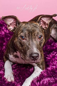 Pit Bull Terrier Mix Dog for adoption in Baton Rouge, Louisiana - Betty Rue (courtesy listing)