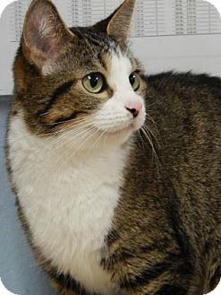 Domestic Shorthair Cat for adoption in The Dalles, Oregon - Harley