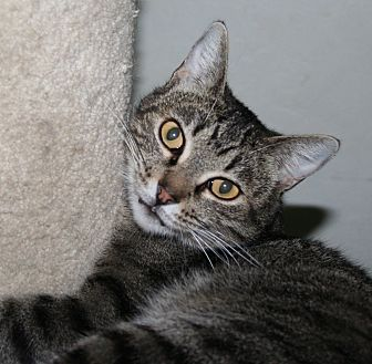 Domestic Shorthair Cat for adoption in Santa Rosa, California - Catalina