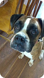 Boxer Dog for adoption in Boise, Idaho - Bear