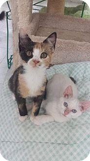 Domestic Shorthair Kitten for adoption in Myrtle Beach, South Carolina - Elsa & Ali