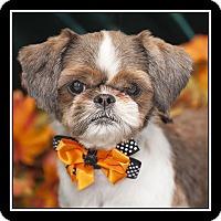 Adopt A Pet :: Lulu - Covina, CA