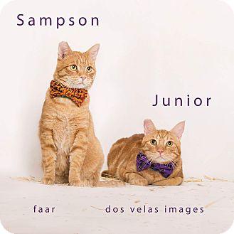 Domestic Shorthair Cat for adoption in Riverside, California - Sampson