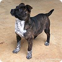 Adopt A Pet :: Simon - Bedford, VA