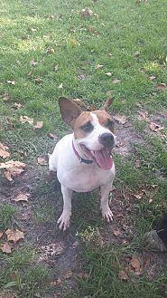 English Bulldog/Pointer Mix Dog for adoption in Tampa, Florida - Dahlia