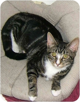 American Shorthair Kitten for adoption in New York, New York - Tabitha the lovingTabby!