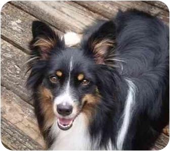 Australian Shepherd/Sheltie, Shetland Sheepdog Mix Dog for adoption in Orlando, Florida - Holly