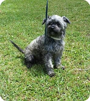 Affenpinscher/Norwich Terrier Mix Dog for adoption in Daleville, Alabama - Shaggy