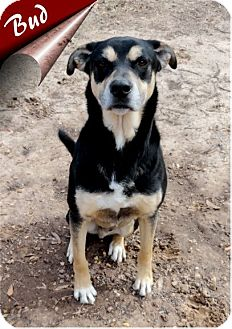 German Shepherd Dog/Rottweiler Mix Dog for adoption in Ozark, Alabama - Bud
