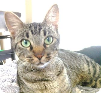 Domestic Shorthair Cat for adoption in Malvern, Arkansas - GRACIE