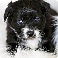 Adopt A Pet :: Gypsy - La Costa, CA