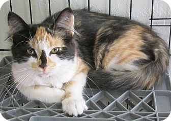 Calico Cat for adoption in Buhl, Idaho - Kloey