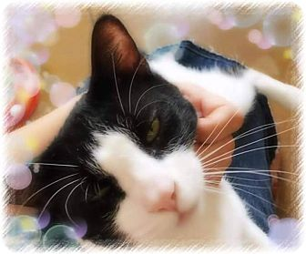 Domestic Shorthair Cat for adoption in Scottsdale, Arizona - Tom