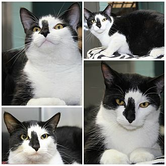 Domestic Shorthair Cat for adoption in Forked River, New Jersey - Valentine