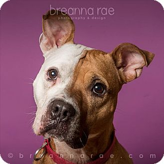 Pit Bull Terrier Mix Dog for adoption in Sheboygan, Wisconsin - Diva