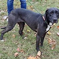Labrador Retriever Mix Dog for adoption in Livingston, Texas - Raven