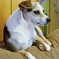 Beagle/Chihuahua Mix Dog for adoption in Greenville, South Carolina - Sterling