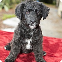 Adopt A Pet :: Apple- sweet little poodle mix pup--N - Santa Fe, TX