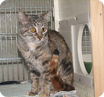 Domestic Shorthair Cat for adoption in Fairbury, Nebraska - Violet