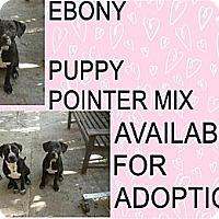 Adopt A Pet :: EBONY - Hollywood, FL