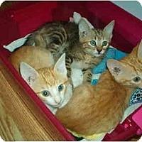 Adopt A Pet :: Orange and Gray Tabby kittens - Lake Charles, LA