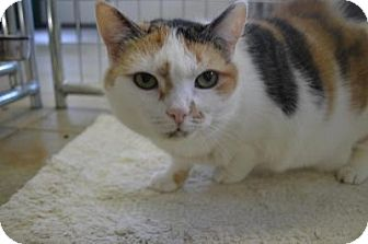 Domestic Shorthair Cat for adoption in East Smithfield, Pennsylvania - Bindi Sue