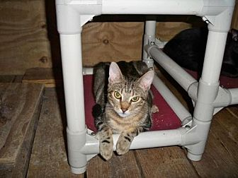 American Shorthair Cat for adoption in Land O Lakes, Florida - Chancey