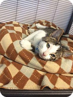 Domestic Shorthair Kitten for adoption in University Park, Illinois - Manny