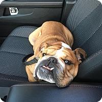 Adopt A Pet :: Woodrow - Park Ridge, IL