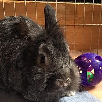 Lionhead Mix for adoption in Erie, Pennsylvania - Buffalo- Cheese Puff