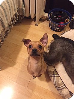 Chihuahua Mix Dog for adoption in West Allis, Wisconsin - Ernie