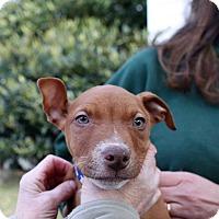 Adopt A Pet :: Ruckus - Greensboro, MD