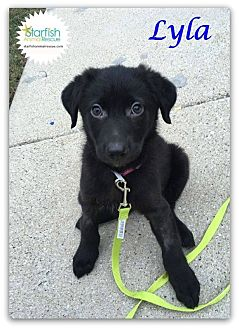 Labrador Retriever/Border Collie Mix Puppy for adoption in Plainfield, Illinois - Lyla