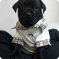Adopt A Pet :: JOEY - Studio City, CA