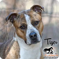 Adopt A Pet :: Tiger - Broadway, NJ