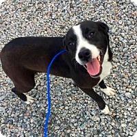 Adopt A Pet :: Bree - Rockville, MD