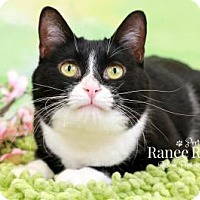 Domestic Shorthair Cat for adoption in Sterling Heights, Michigan - Ala