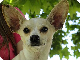 Chihuahua Mix Puppy for adoption in Poway, California - Lester