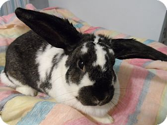 Lop, English Mix for adoption in Hillside, New Jersey - Magda