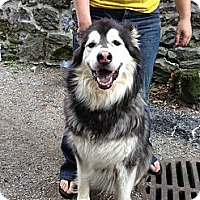Adopt A Pet :: Tyson - Phoenixville, PA