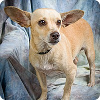Dachshund/Chihuahua Mix Dog for adoption in Anna, Illinois - EDDIE