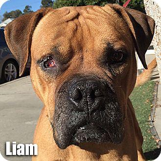 Boxer Dog for adoption in Encino, California - Liam