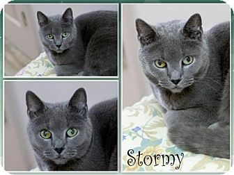 Domestic Shorthair Cat for adoption in Orleans, Vermont - Stormy