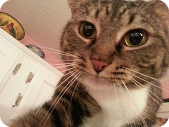 American Shorthair Cat for adoption in Tunica, Mississippi - Julia