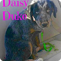 Adopt A Pet :: Daisy Duke - Scottsdale, AZ