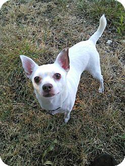 Chihuahua Dog for adoption in Mastic Beach, New York - PEPPI!!