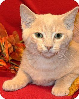 Domestic Shorthair Kitten for adoption in Rochester, New York - Jasper