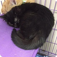Domestic Shorthair Kitten for adoption in Angola, Indiana - Grinch