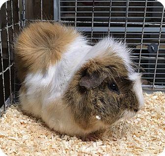 Guinea Pig for adoption in Hammond, Indiana - Nio